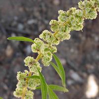 Green Flowers - Amaranthus fimbriatus – Fringed Amaranth