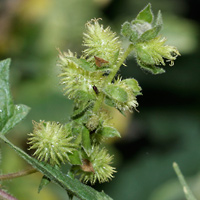 Conspicuous Fruit or Cones - Ambrosia ambrosioides – Ambrosia Leaf Bur Ragweed