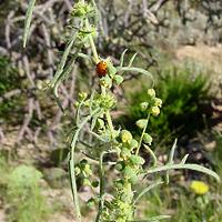 Brown and Drab Flowers - Ambrosia confertiflora – Weakleaf Bur Ragweed