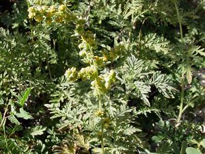 Ambrosia confertiflora - Weakleaf Bur Ragweed, Weakleaf Burr-Ragweed, Slimleaf Bursage, Slender Ragweed