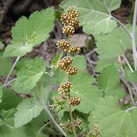 Brown and Drab Flowers - Ambrosia cordifolia – Tucson Bur Ragweed