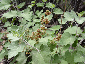Ambrosia cordifolia - Tucson Bur Ragweed, Tucson Burr-Ragweed, Sonoran Bursage