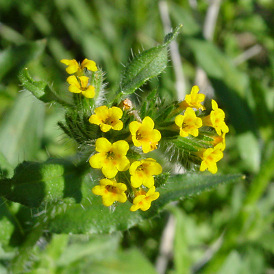 Yellow-flowered Amsinckia menziesii var. intermedia - Common Fiddleneck, Rancher's Fireweed