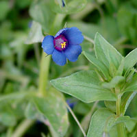 Purple and Blue Flowers - Anagallis arvensis ssp. foemina – Poorman's Weatherglass