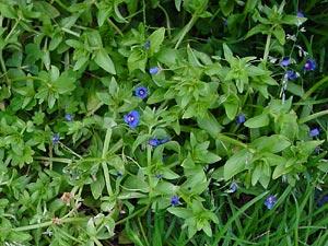 Anagallis arvensis ssp. foemina - Poorman's Weatherglass, Poor Man's Weatherglass, Blue Pimpernel