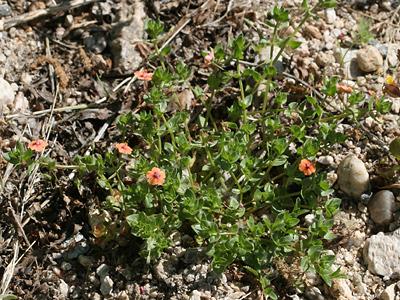 Anagallis arvensis - Scarlet Pimpernel