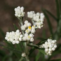 White Flowers - Anaphalis margaritacea – Western Pearly Everlasting