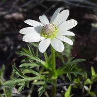 White Flowers - Anemone tuberosa – Tuber Anemone