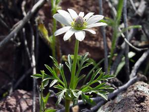 Anemone tuberosa - Tuber Anemone, Desert Anemone