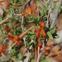 Brown and Drab Flowers - Anisacanthus thurberi – Thurber's Desert Honeysuckle