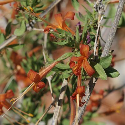 Anisacanthus thurberi - Thurber's Desert Honeysuckle, Chuparosa (orange-brown flowers)