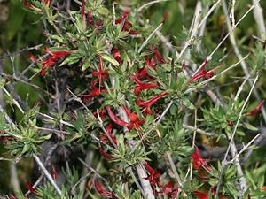 Anisacanthus thurberi - Thurber's Desert Honeysuckle, Chuparosa (red flowers)
