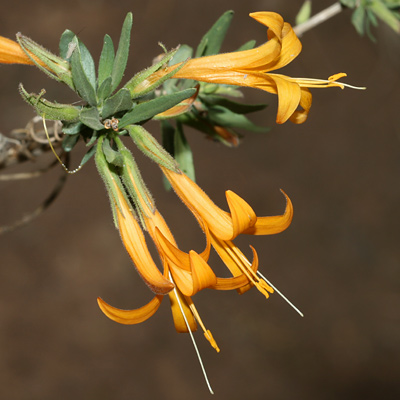 Anisacanthus thurberi - Thurber's Desert Honeysuckle, Chuparosa (orange-yellow flowers)