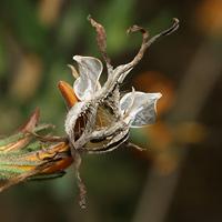 Anisacanthus thurberi - Thurber's Desert Honeysuckle, Chuparosa (seeds)