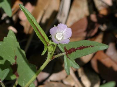 Anoda cristata - Crested Anoda, Spurred Anoda, Violettas