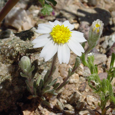 Antheropeas lanosum - White Easterbonnets, White Easter Bonnets, Woolly Daisy