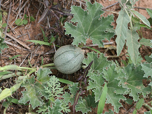 Apodanthera undulata - Melon Loco (fruit)