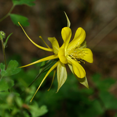 aquilegia chrysantha  golden columbine, yellow columbine, Beautiful flower