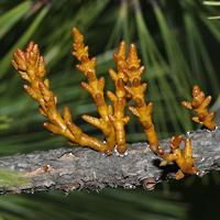Inconspicuous Flowers - Arceuthobium vaginatum – Pineland Dwarf Mistletoe