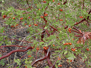 Arctostaphylos pungens - Pointleaf Manzanita (fruit)