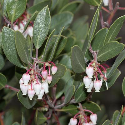 Arctostaphylos pungens - Pointleaf Manzanita (flowers)