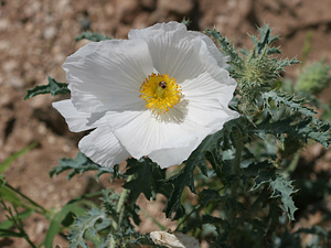 Argemone pleiacantha - Southwestern Pricklypoppy, Bluestem Pricklepoppy, Prickly Poppy