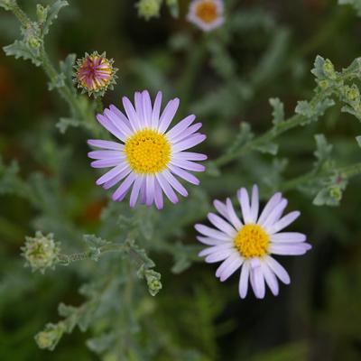 Arida arizonica - Arid Tansyaster, Arid Machaeranthera, Desert Tansy-aster, Silver Lake Daisy (flowers)
