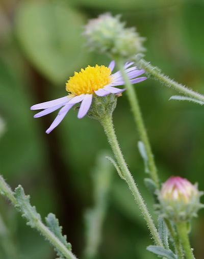 Arida arizonica - Arid Tansyaster, Arid Machaeranthera, Desert Tansy-aster, Silver Lake Daisy (flower)