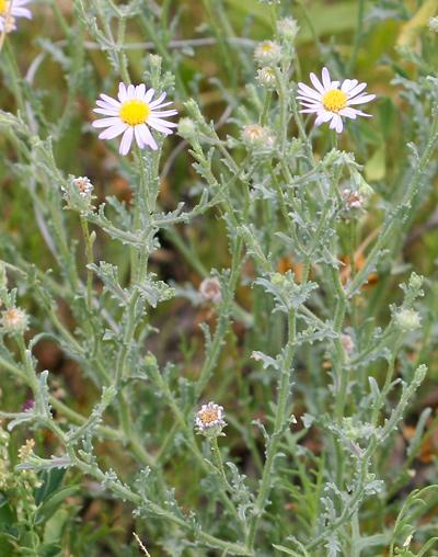 Arida arizonica - Arid Tansyaster, Arid Machaeranthera, Desert Tansy-aster, Silver Lake Daisy