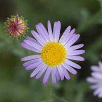 Purple and Blue Flowers - Arida arizonica – Arid Tansyaster