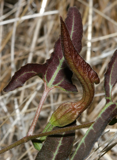 Aristolochia watsonii - Watson's Dutchman's Pipe, Southwestern Pipevine (flower bud and leaf)