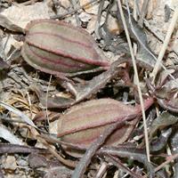 Conspicuous Fruit or Cones - Aristolochia watsonii – Watson's Dutchman's Pipe