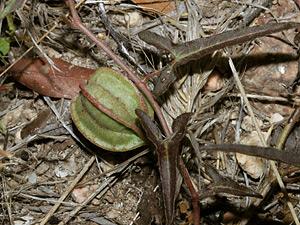 Aristolochia watsonii - Watson's Dutchman's Pipe, Southwestern Pipevine (green fruit)