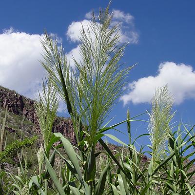 Arundo donax - Giant Reed, Elephant Grass