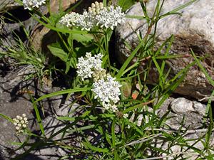 Asclepias angustifolia - Arizona Milkweed