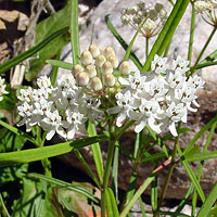 White Flowers - Asclepias angustifolia – Arizona Milkweed
