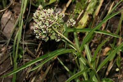 Asclepias asperula - Spider Milkweed, Antelope Horns, Antelopehorn Milkweed, Spider Antelope-horns, Green-flowered Milkweed, Immortal