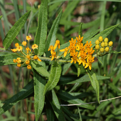 Asclepias tuberosa - Butterfly Milkweed, Butterfly Weed, Pleurisy Root (yellow flowers)