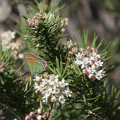 Asclepias linaria - Pineneedle Milkweed, Pine-Needle Milkweed, Needle-Leaf Milkweed (flowers and a Juniper Hairstreak (Callophrys gryneus) butterfly)