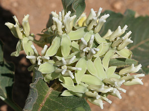 Asclepias nyctaginifolia - Mojave Milkweed