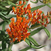 Orange Flowers - Asclepias tuberosa – Butterfly Milkweed