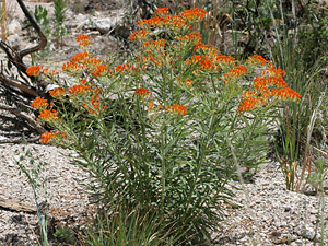 Asclepias tuberosa - Butterfly Milkweed, Butterfly Weed, Pleurisy Root