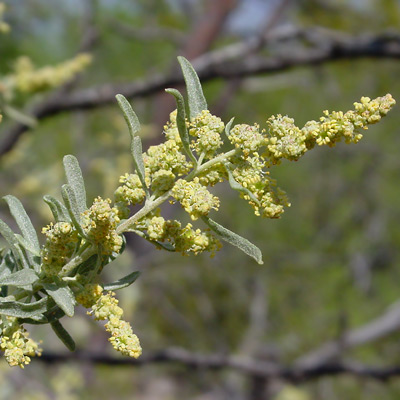 Atriplex canescens - Fourwing Saltbush, Four-wing Saltbush, Chamise, Chamize, Chamiso, Shadscale (flowers)