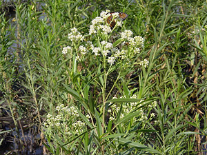 Baccharis salicifolia - Mule-fat, Mule's Fat, Seep-willow, Seepwillow