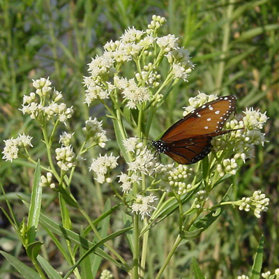 Baccharis salicifolia - Mule-fat, Mule's Fat, Seep-willow, Seepwillow (flowers with a Queen (Danaus gilippus) butterfly)