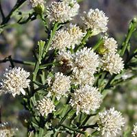 White Flowers - Baccharis sarothroides – Desertbroom