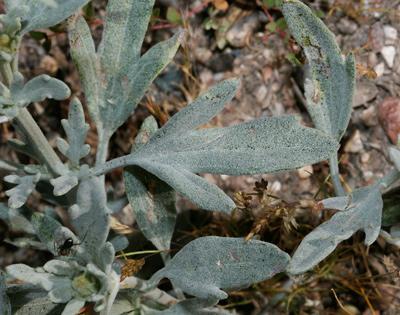 Bahia absinthifolia - Hairyseed Bahia, Silverleaf Bahia (leaf)