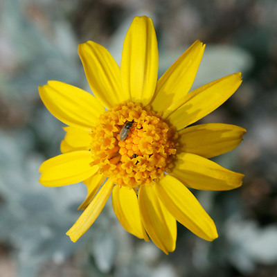 Bahia absinthifolia - Hairyseed Bahia, Silverleaf Bahia (flower)
