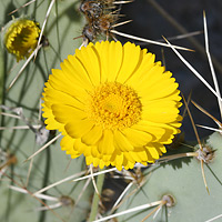 Common Wildflowers - Baileya multiradiata – Desert Marigold