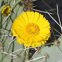 Yellow Flowers - Baileya multiradiata – Desert Marigold